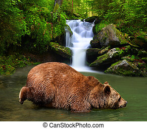 Brown Bear (Ursus arctos) wading in mountain creek.