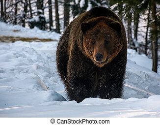 brown bear walking in the winter forest. lovely wildlife...
