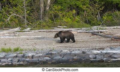 Brown Bear Walking On River Bank