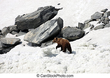 Brown bear walking on snow and ice among the rocks.
