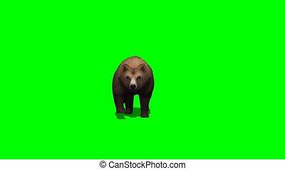 brown bear walks 2 different views - green screen