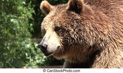 Brown Bear Wild Animals