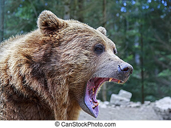 Brown bear with open mouth portrait in Carpathian mountains,...