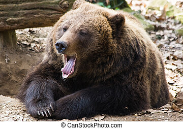 Brown bear yawning - Brown bear relaxing in the sun and...