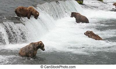 Brown bears fishing for salmon