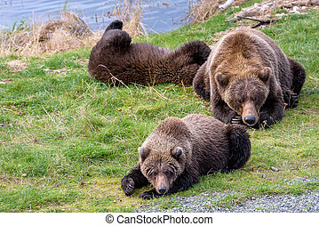 Brown bears in the wild
