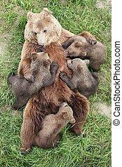 Brown bears with babies