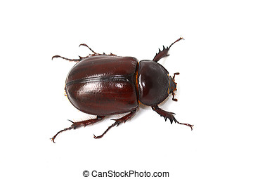 Brown Beetle - Brown scarab beetle isolated on white...