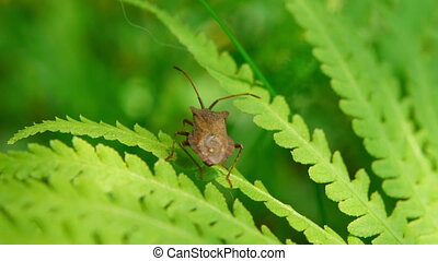 Brown beetle moving on green leaf
