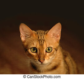 Brown bengal cat portrait