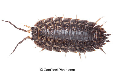 Brown big wood louse - Porcellio scaber - Brown big wood...