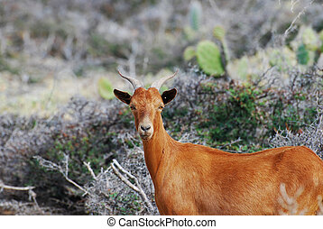 Brown Billy Goat with Curved Horns on His Head