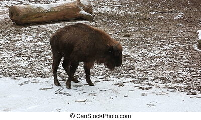 Brown bison walking in winter forest - Dangerous European...