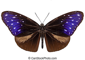 brown, blue and purple butterfly species Euploea Mulciber -...