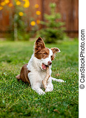 Brown border collie dog playing with a stick