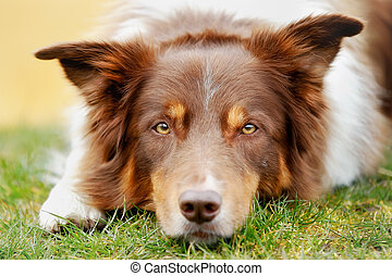 Brown border collie lying outside and looking at the camera.