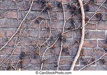 Brown brick wall background with withered vine