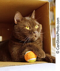 Brown british shorthair in a box
