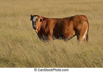 Bull in a Field