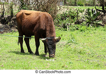 Brown Bull in a Pasture