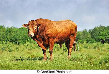 Brown bull in field