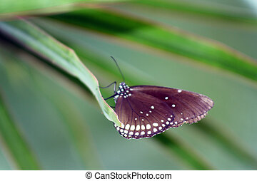 brown butterfly 1