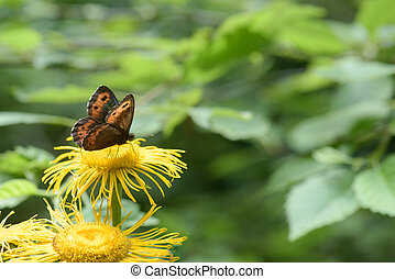 Brown butterfly on a yellow flower