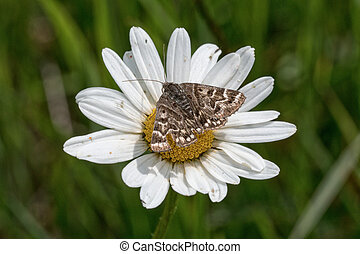 Brown butterfly sitting on a daisy