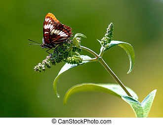 Brown butterfly sitting on a fresh bud