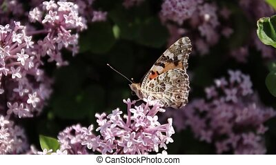 A brown butterfly with a beautiful pattern on its wings sits on a lilac flower bush. Wind swaying a plant on a sunny summer day