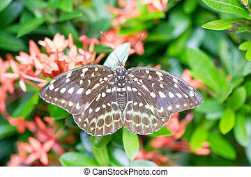 Brown butterfly with white spots.