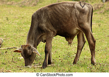 Brown Calf in a Meadow
