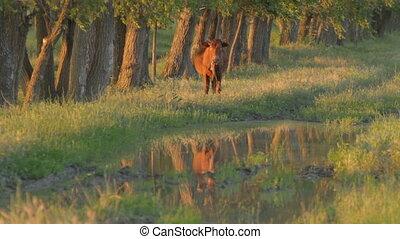 Brown calf standing in meadow near - Lone brown calf...