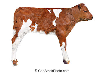 brown calf isolated on white background