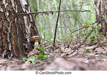 brown cap boletus growing in a clearing near a birch