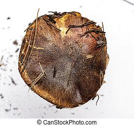 brown cap fresh mushroom Suillus luteus