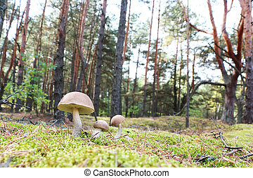brown-cap mushrooms in forest