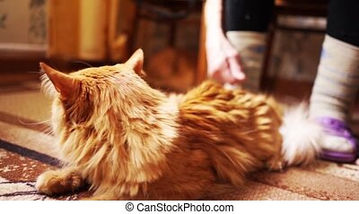 Brown Cat, Red Tabby Male Cat, Ginger Cat - Close up Photo...