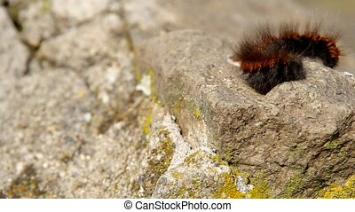 Brown caterpillar on a rock