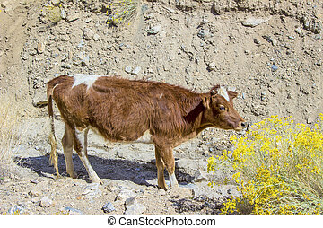 brown cattle grazes in the mountains