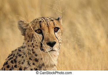 Brown cheetah eyes