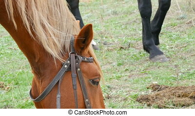 Brown chewing horse in the pasture.