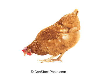 brown chicken feeding isolated white background