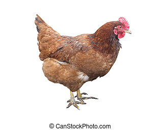 Brown chicken hen isolated over white