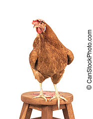brown chicken ,rooster isolated white
