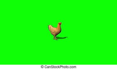 brown chicken walking - green screen -- you can put gigantic...
