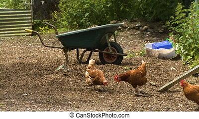 Brown chickens in a yard by a wheelbarrow