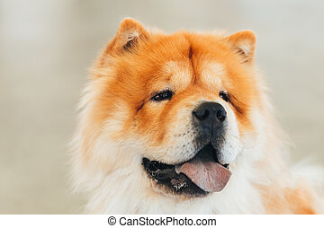 Brown Chines chow chow dog - Red Chines chow chow dog close...
