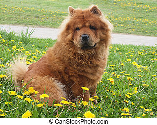 Brown chow chow dog - Chow chow dog. Summer time.