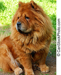 Brown chow chow dog Dina in the green grass - Brown chow...